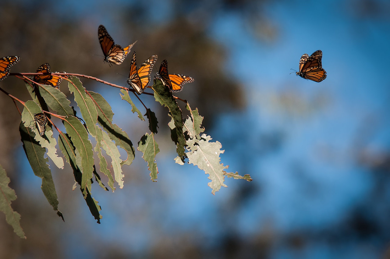 Monarchs in action at the butterfly grove, Pismo Beach