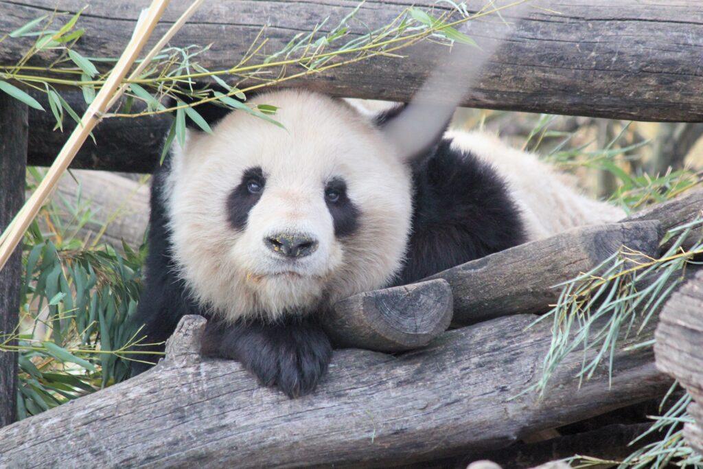 A panda lying on wood