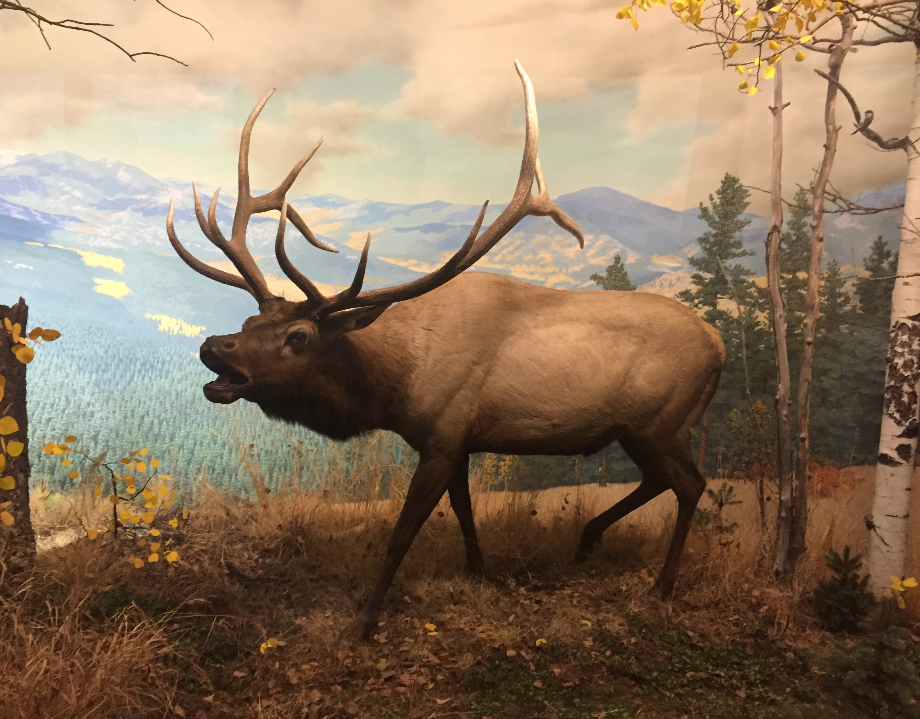 Elk in Denver Museum of Nature and Science