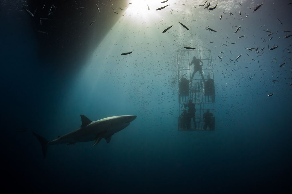 A group of people inside a cage plunge underwater near a shark.