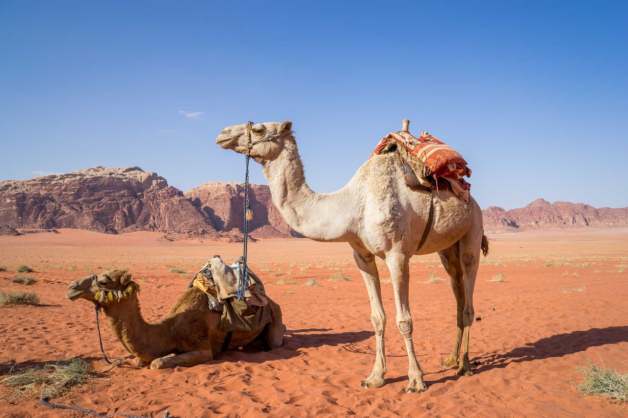 Two Camels resting in a desert