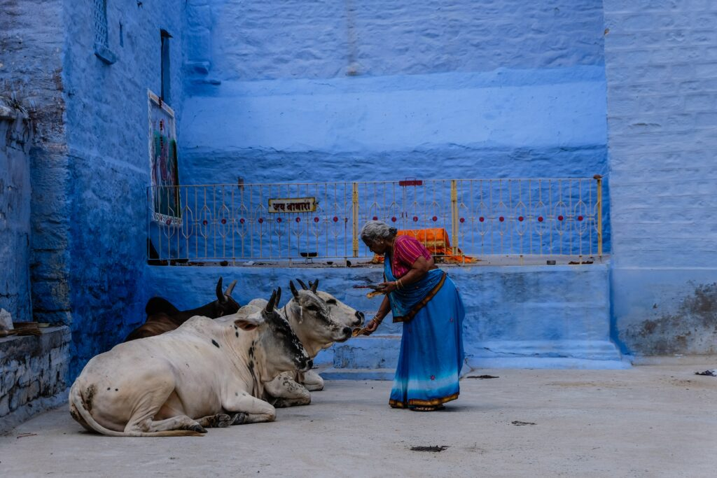 A woman feeding cows.
