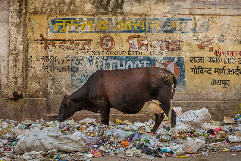 A cow looking for food on garbage.