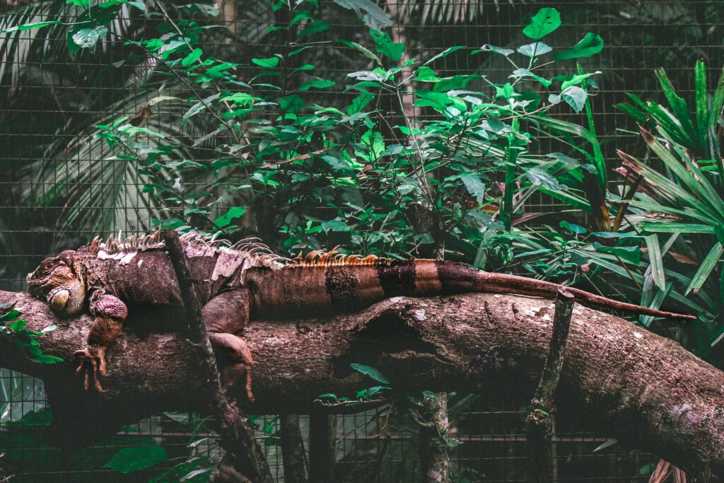 A brown iguana lying on a branch of a tree.
